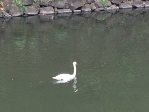 お堀の白鳥