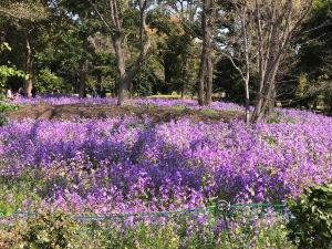 北の丸公園に咲いていた紫の花