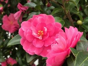 小石川の山茶花