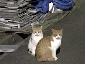 エサをもらいに来る兄弟ネコ