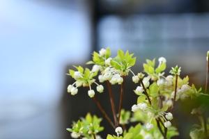 ドウダンツツジの花が咲いた