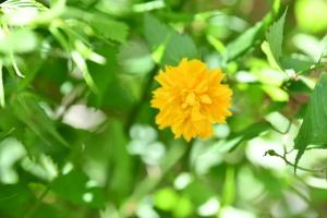 山吹は祖母の好きな花だった