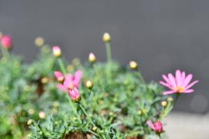 マーガレットが咲き始めた