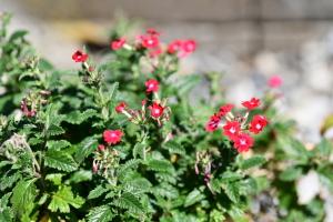 赤いバーベナの花言葉は「団結」